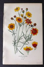 Step 1896 Antique Botanical Print. Coreopsis Tinctoria 140